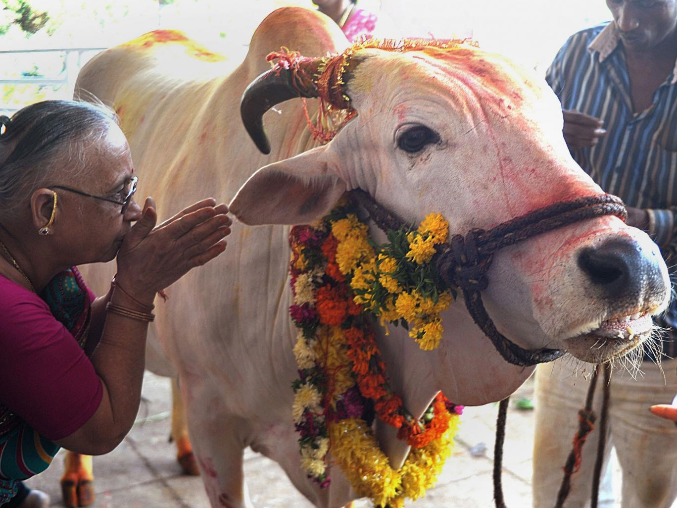 Do you Know Why the Hindu cow is called a mother ?