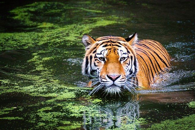 Tiger -Things you should know about Tigers